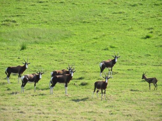 antelope-4